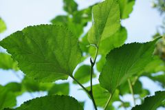 Green Morus alba leaves in nature garden Royalty Free Stock Image