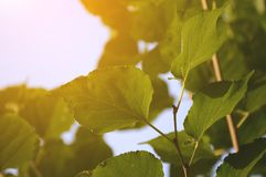 Green Morus alba leaves in nature garden Royalty Free Stock Images