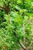 Green Morus alba tree in nature garden Royalty Free Stock Photography