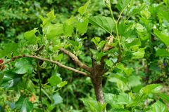 Green Morus alba tree in nature garden Royalty Free Stock Image