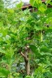 Green Morus alba tree in nature garden Royalty Free Stock Photo