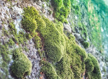 Green mos on the cement wall Royalty Free Stock Image
