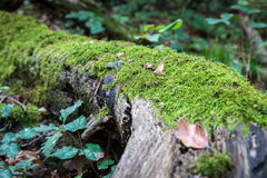 Green mos growing on a big tree trunk. Blurry forest background. Autumn leaves on the ground. Low-angle close-up shot. Green mos growing on a big tree trunk Royalty Free Stock Photo