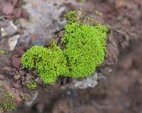 Green mos Royalty Free Stock Photo