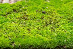 Green Mos, spring plant on ground Royalty Free Stock Photography