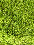 Green moss. Beautiful green moss at the forest Stock Photos
