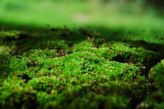Green moss. Close-up of green moss Stock Image