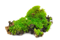 Green Moss. A clump of green moss isolated on a white background Royalty Free Stock Photo