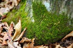 Green moss. On trunk, fallen oak leaves. shallow DOF Royalty Free Stock Photography