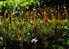 Green moss Royalty Free Stock Photo