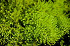 Green moss. Nord green moss on stone Stock Photography