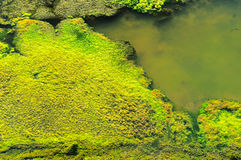 Green Moss. On the water ,canal Royalty Free Stock Images