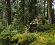 Green moss. Mossy undergrowth in mountain forest Stock Images