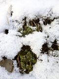 Green moss. Through the snow Stock Images