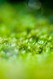 Green moss. Vivid green moss with shallow dof Royalty Free Stock Photos