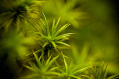Green moss. Vivid green moss with shallow dof Royalty Free Stock Image