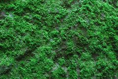Green moss  as a background Royalty Free Stock Photography