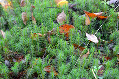 Green moss in autumn forest. Royalty Free Stock Images