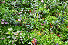 Green moss backgound Royalty Free Stock Photos