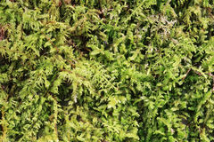 Green moss background Royalty Free Stock Photo