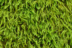 The green moss Royalty Free Stock Photo