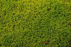 Green moss background Royalty Free Stock Photography