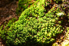 Green moss background Stock Photography