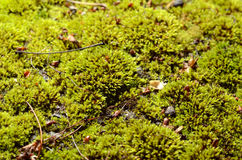 Green moss background. Royalty Free Stock Photo
