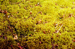 Green moss background. Stock Image
