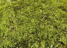 Green moss background Royalty Free Stock Photos