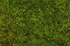 Green moss background Stock Image