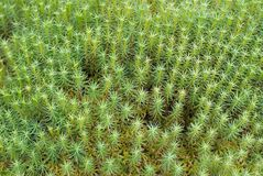 Green Moss Background (Polytrichum commune). A close up of Green Common Haircap Moss (Polythricum commune) in forest after heavy rainfall. Can be used as Stock Image