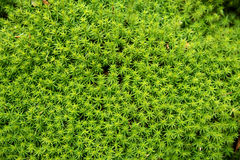 Green moss background - polytrichum formosum Royalty Free Stock Photo