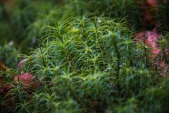 Green Moss background . Star Moss POLYTRICHUM COMMUNE seen fro. M above. Shallow depth of field stock image