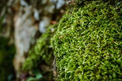 Green moss background texture beautiful in nature. royalty free stock photography
