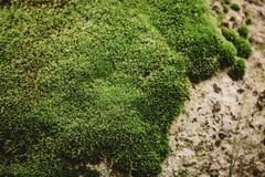 Green moss background texture Royalty Free Stock Images