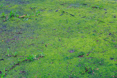 Green Moss for background texture Royalty Free Stock Images