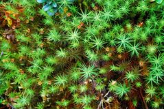 Green moss backgruond close up Royalty Free Stock Photo