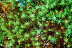 Green moss backgruond close up Royalty Free Stock Photo