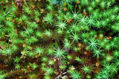 Green moss backgruond close up Stock Photography