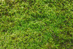 Green moss backgruond close up Royalty Free Stock Image