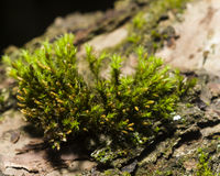 Green moss on bark macro with bokeh background, selective focus Royalty Free Stock Images