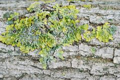 Green moss on the bark of a tree royalty free stock photography