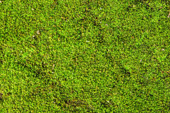 Green moss on a beautiful. Royalty Free Stock Photo