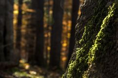 Green moss on a big tree trunk in autumn light in a dark forest. In Transylvania, Romania Stock Photos
