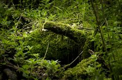Green moss on a big tree trunk in a lush forest. Green moss on a big tree trunk, in a lush forest, reminding of Eden garden, in Transylvania, Romania Stock Images