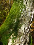 Green moss on birch Royalty Free Stock Photography