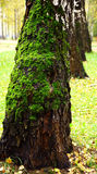 Green moss on birch tree Royalty Free Stock Image