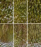Green moss on birch tree Royalty Free Stock Photo
