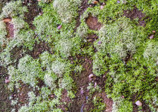 Green moss on black stone wall use for background Stock Image